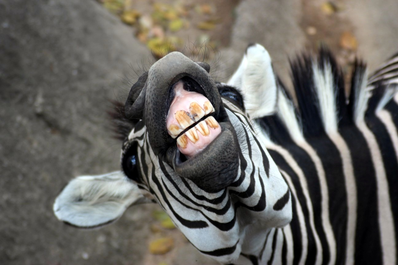 Zebra Teeth Zebra Teeth - Viewing ...